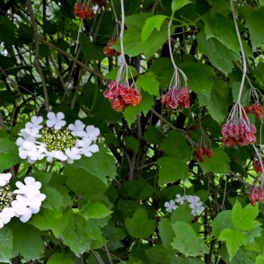 Guelder Rose Flowers and Last Year Fruits