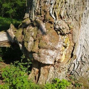 Burl on Oak Trunk
