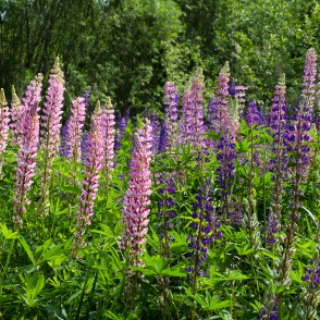 Large-leaved Lupine Meadow