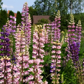 Lupines of Different Colors in Meadow