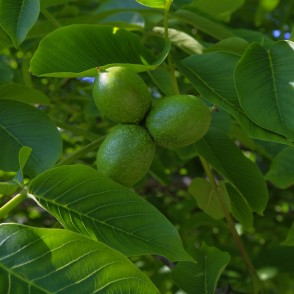 Common Walnut Fruits