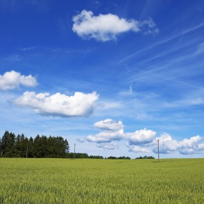 Wheat Field And Cumulus Cloud