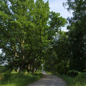 Oak Trees By The Roadside
