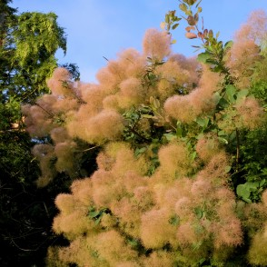 European Smoketree