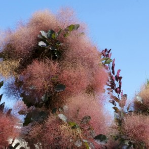 Smoketree 'Grace'