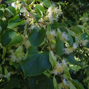 Tilia cordata leaves and flowers
