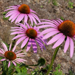 Eastern Purple Coneflowers or Hedgehog Coneflowers