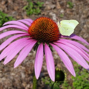 Hedgehog Coneflower and Common Brimstone