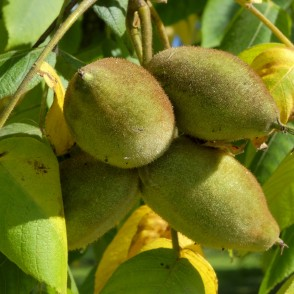 Walnut Fruits