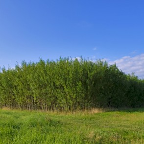 Willow Short-rotation Coppice Plantation