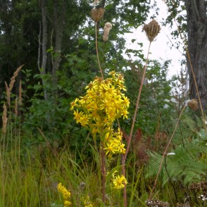 European Goldenrod