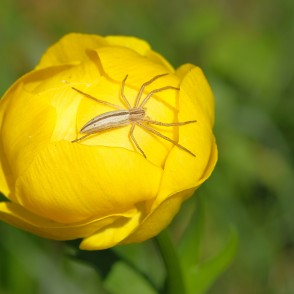 Globeflower with a Spider (Tibellus oblongus)