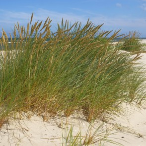 European marram grass