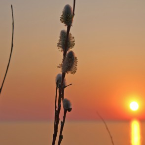 Catkin at Sunset on the Sea Background