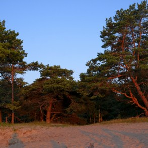 Pines in Cape Kolka