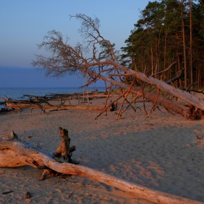 Trees in Cape Kolka Beach Blown Down by the Storm