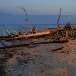 Dead Trees on the Cape Kolka Beach in the Morning Light