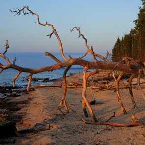 Fallen Tree on Cape Kolka Coastline