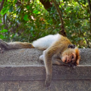 Sri Lanka Monkey Relaxes