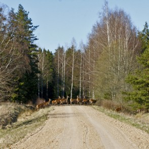 Red deer females run across road