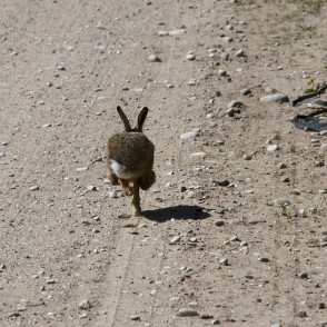 Fleeing hare