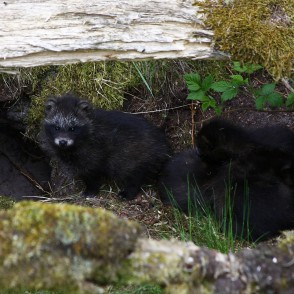 Raccoon dog's pups