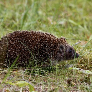 Hedgehog in woods