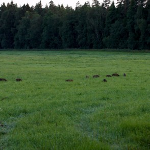 Wild boar piglets in meadow