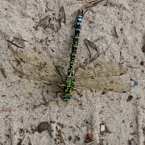 Dragonfly in sand