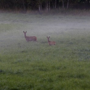 Roe deers in foggy meadow