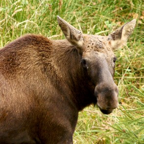 Moose in Ligatne Nature Trails