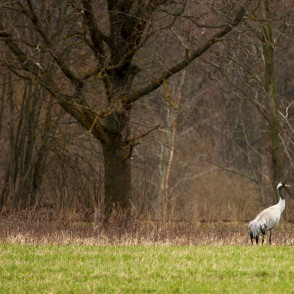 Common crane in spring