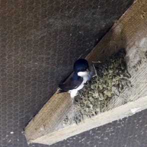 House martin makes nest