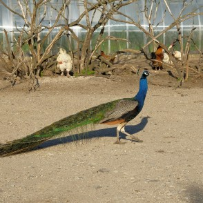 Indian Peafowl In Dundaga Exotic Animal Zoo