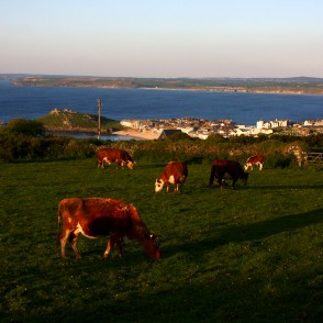 Cow herd at St Ives