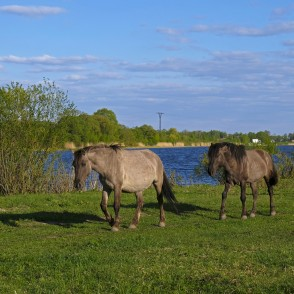 Konik Horses and Foals in Jelgava Palace Island, Lielupe Floodland Meadows