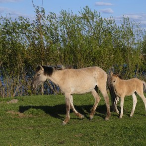 Wild Horses' Foals in Jelgava Palace Island, Lielupe Floodland Meadows