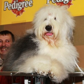 Bobteils (Bobtail / Old English Sheepdog)