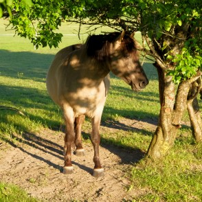 Horse Stands Under The Tree