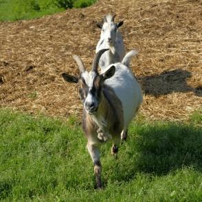 Domestic goat - Goat (Capra aegagrus hircus) - redzet lv