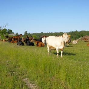 White Cow, Cows And Horses On Pasture