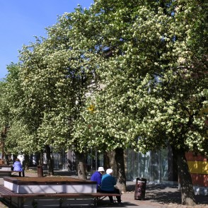 Driksa Street in Jelgava and Flowering Swedish Whitebeam