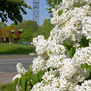 Common lilac in Ventspils